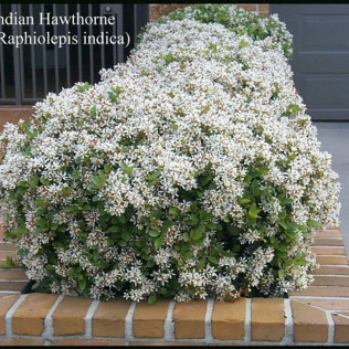 Indian Hawthorn