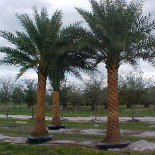 Palm-Sylvester Date Palm